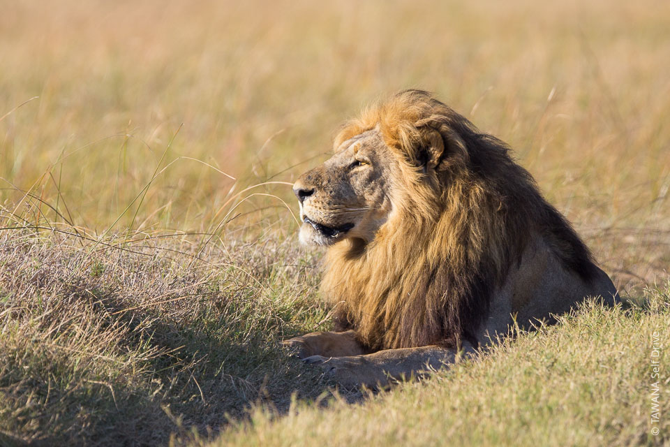 lion in Chobe Savuti