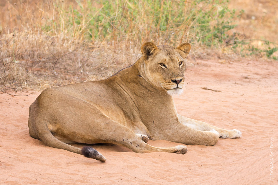Self-drive safari in Botswana: lioness at Chobe