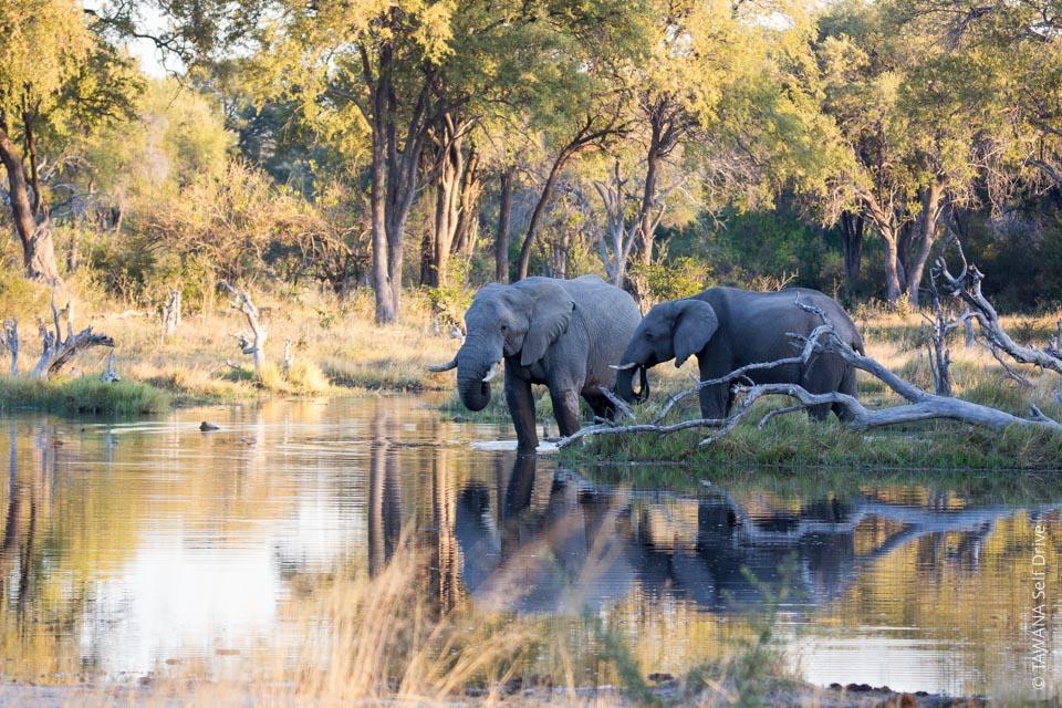 Self-drive safari in Botswana: elephants at Mbudi Khwai