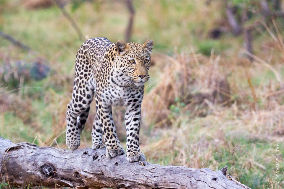Self-drive adventure in Botswana: Moremi