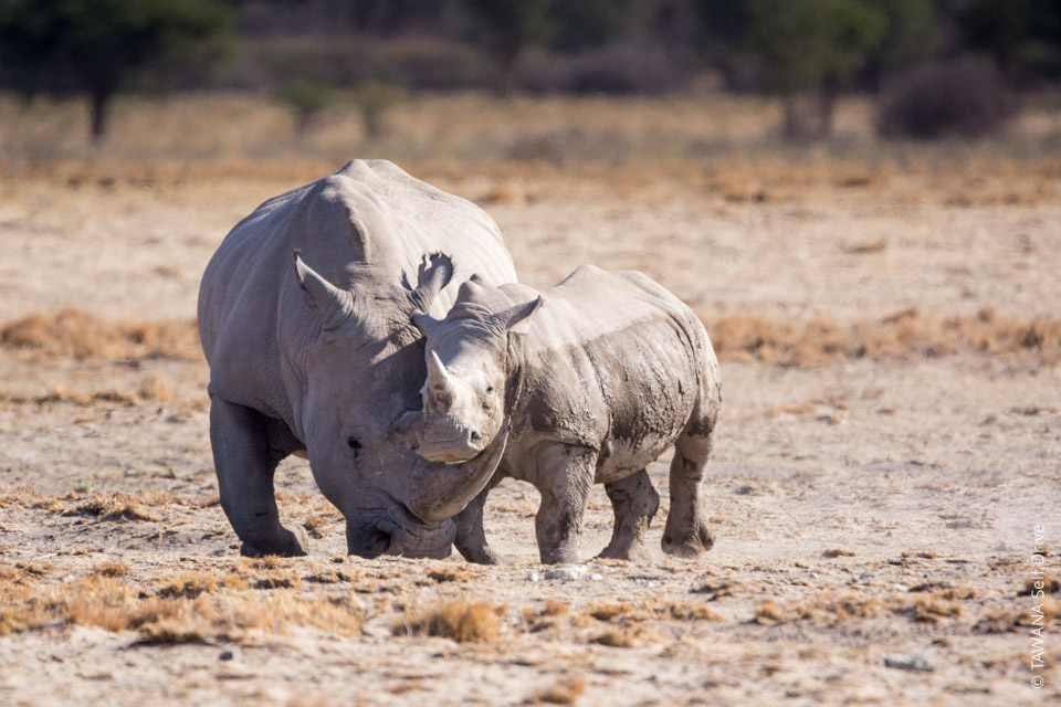 Self-drive safari in Botswana : rhino at Khama Sanctuary