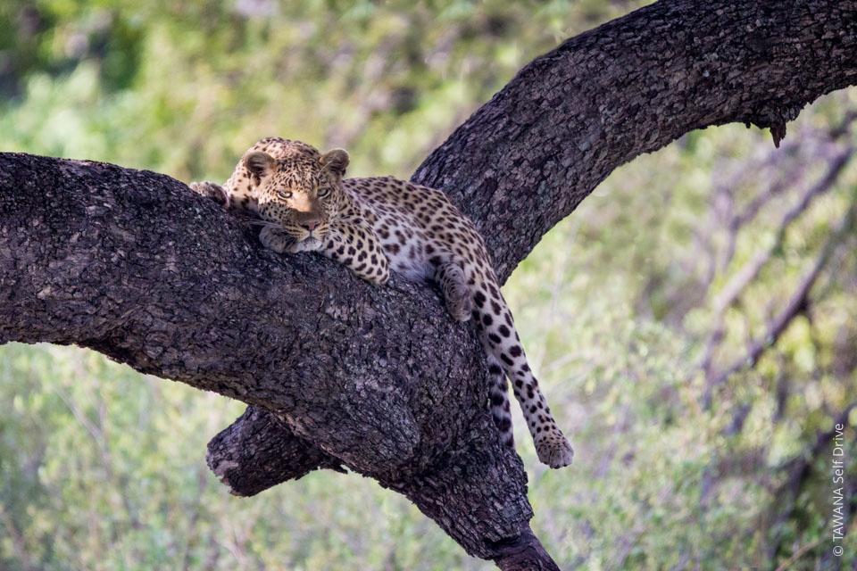 Self-drive safari in Botswana: leopard at Moremi